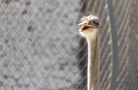 inquiring: Portrait of ostrich on the nature