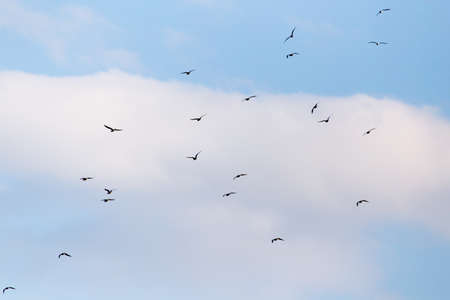 bevy: a flock of birds in the sky Stock Photo