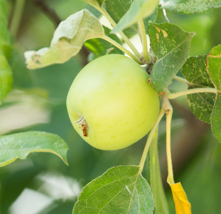 big apple: apple on tree