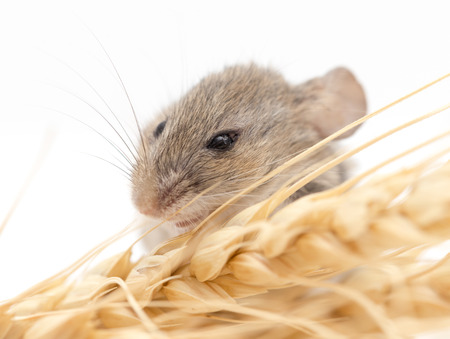 nibbles: Mouse on wheat