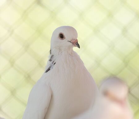 homing: beautiful white dove in nature Stock Photo