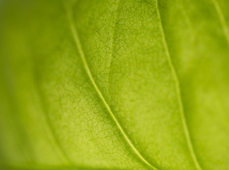 green life: beautiful background of green plant leaf