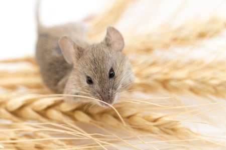 house mouse: Mouse on wheat