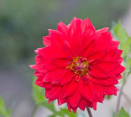 dalia: beautiful red flower in nature Stock Photo