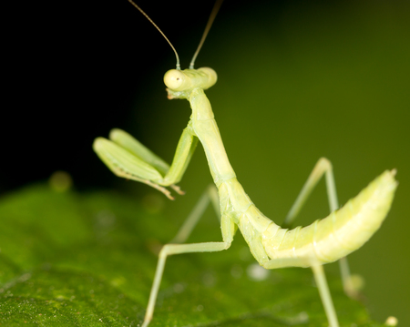 beneficial insect: Green mantis in the nature. close