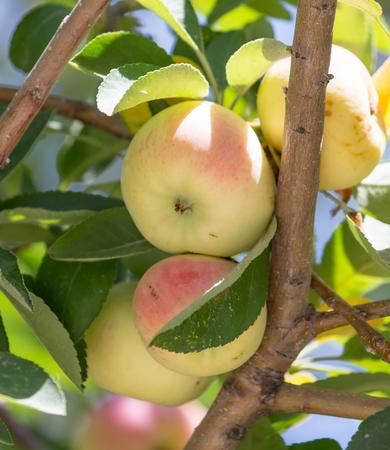 albero mele: mele mature sull'albero Archivio Fotografico