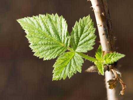 fresh leaf: raspberry leaf spring in nature. close-up