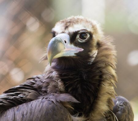 yellow tailed: bird hawk nature