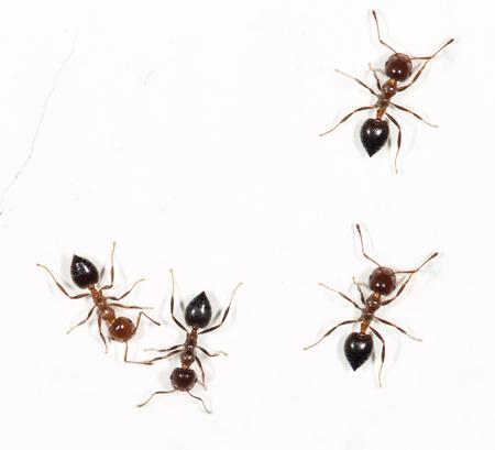 hormiga: hormigas en una pared blanca  Foto de archivo