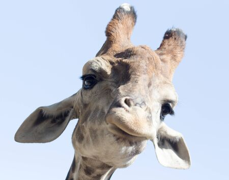 animales del zoo: Retrato de una jirafa contra el cielo azul