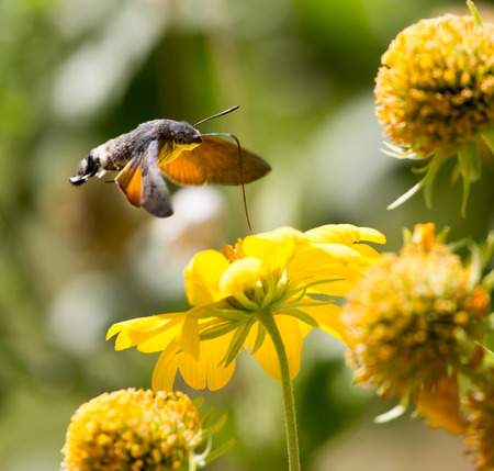 hawk: Sphingidae, known as bee Hawk-moth, enjoying the nectar of a yellow flower. Hummingbird moth. Calibri moth.
