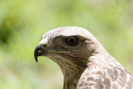 prowess: eagle on the nature Stock Photo
