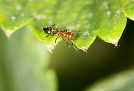 antrey: ant on green leaf in nature. close-up