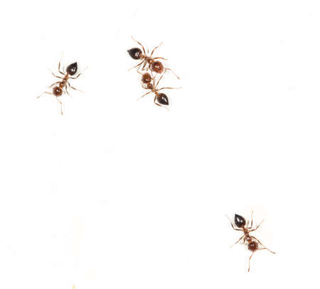 salticidae: ants on a white wall. close