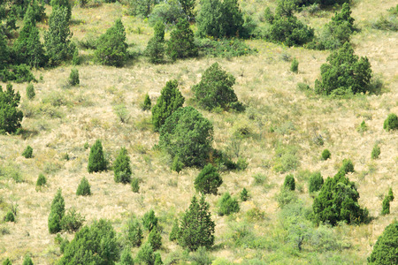 hillside: coniferous trees on a hillside
