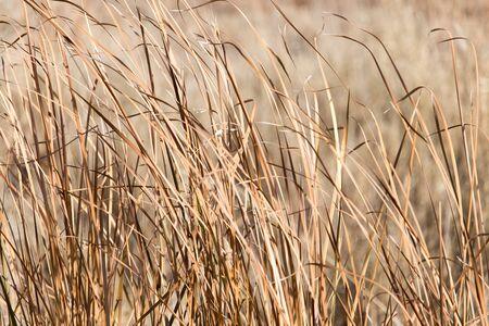 wispy: background of dry reeds