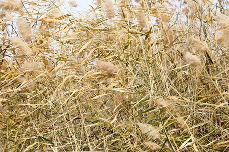 bulrush: bulrush autumn as a background Stock Photo