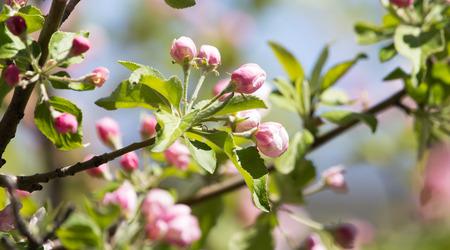 arbol de manzanas: hermosas flores en el �rbol de manzanas en la naturaleza Foto de archivo