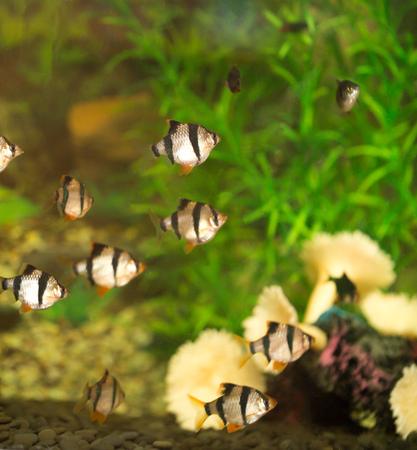 barbus: fish in the aquarium
