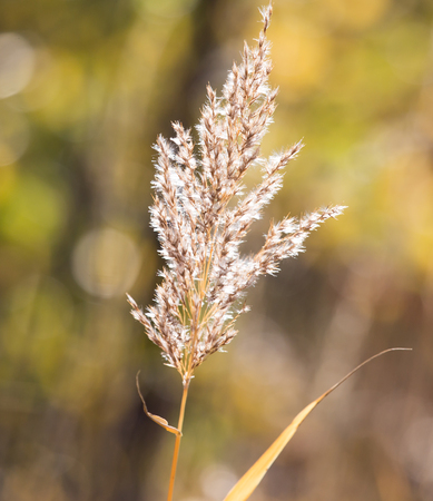 bullrush: bulrush autumn nature as background