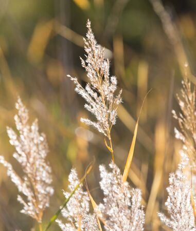 bulrush: bulrush autumn nature as background