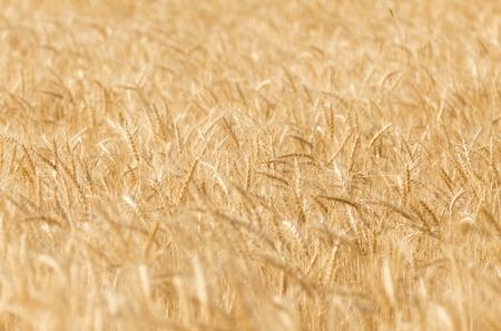 barley head: ears of wheat on the nature Stock Photo