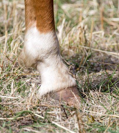 hoof: the horses hoof Stock Photo
