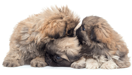 yorky: three beautiful fluffy little puppies on a white background