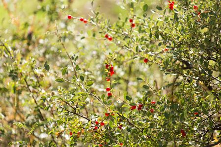 gean: wild red berry on the nature