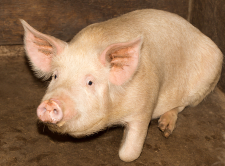 ungulate: portrait of a pig farm