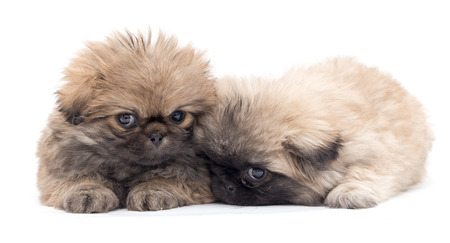yorky: two beautiful fluffy little puppies on a white background