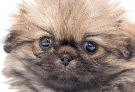 yorky: beautiful portrait of a small fluffy puppy