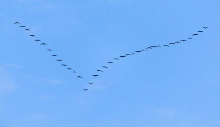 flock of swans flying against a blue sky in the south Stock Photo