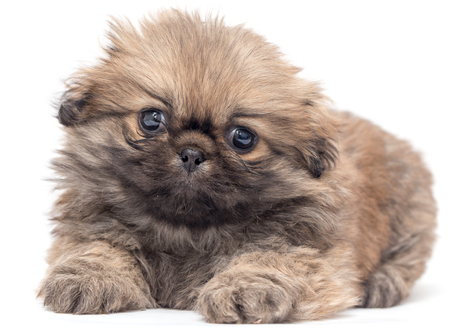 yorkie: Beautiful little fluffy puppy on a white background