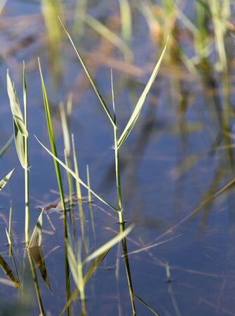 riparian: reeds on the water in the lake in nature