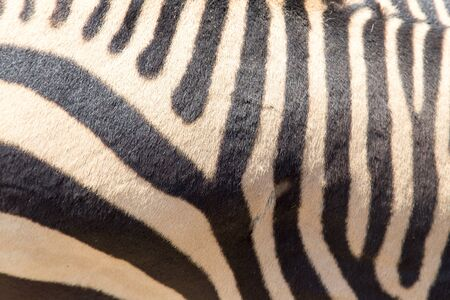burchell: zebra stripes Stock Photo