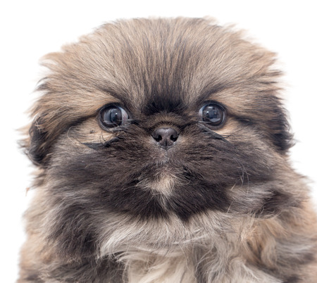 tilt views: Beautiful little fluffy puppy on a white background