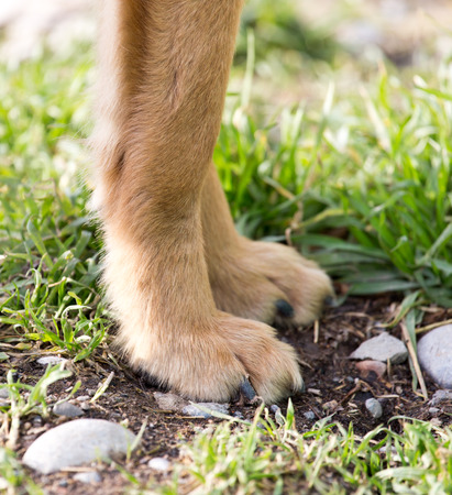 sharpei: paw dog on the nature Stock Photo