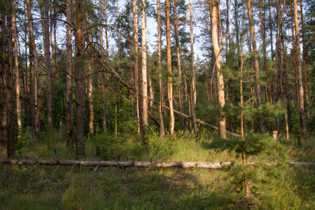 coniferous: coniferous forest in nature