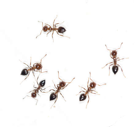 salticidae: ants on a white wall. macro