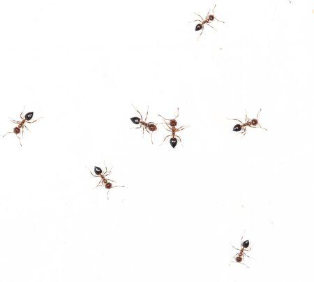 similitude: ants on a white wall. macro