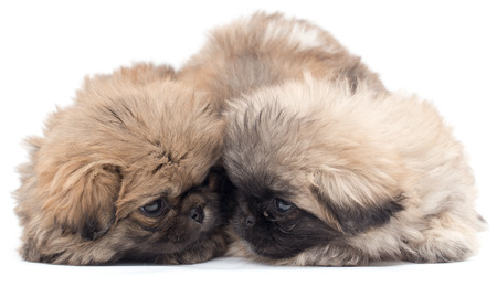 yorky: two beautiful fluffy little puppy on a white background Stock Photo