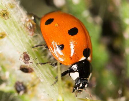 ladybird: ladybird on nature. close Stock Photo