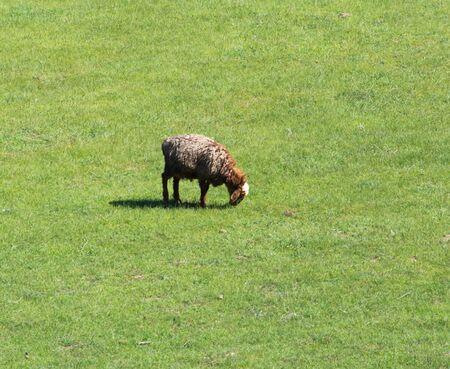 graze: Sheep graze in a meadow