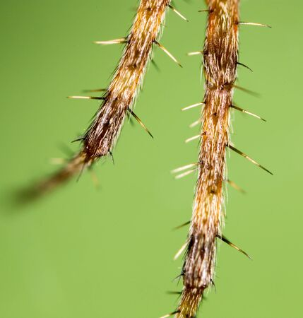bruennichi: foot spider. Super Macro Stock Photo