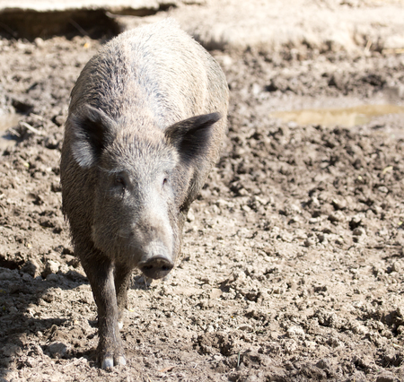 bush hog: wild boar in the zoo