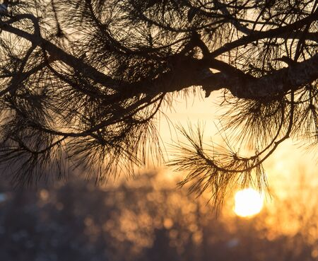 conifer: conifer tree at sunset in nature Stock Photo