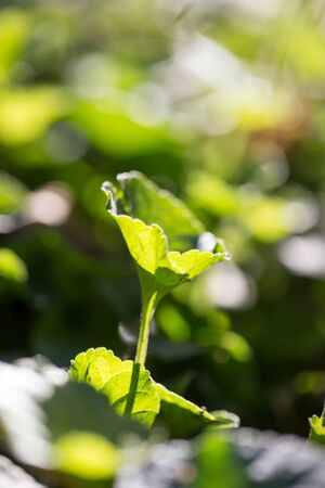 pes caprae: leaves of grass at dawn