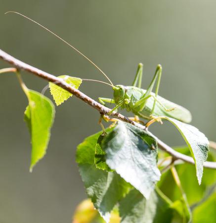 grasshopper: grasshopper in nature. close-up Stock Photo