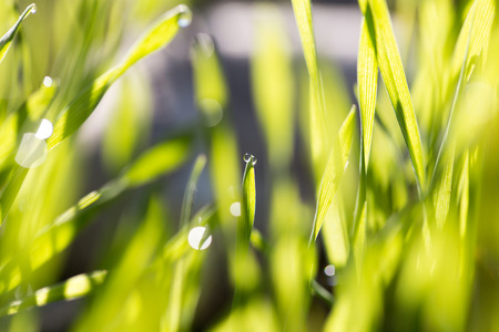 sunup: dew drops on green grass at dawn Stock Photo